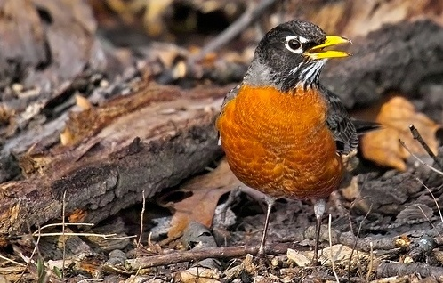 robin1