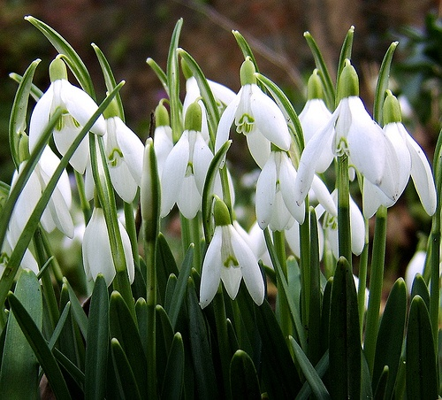 snowdrops2